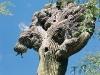 Saguaro com vários ninhos de pássaros